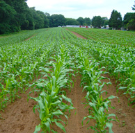 corn just growing