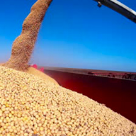 soybeans into wagon